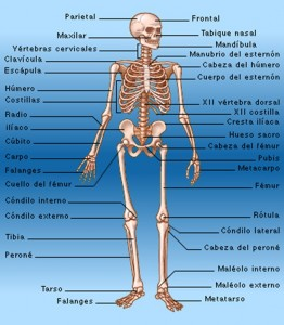 cuantos huesos hay en nuestro cuerpo